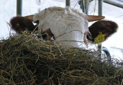 Kühe gefüttert mit hofeigenem Heu