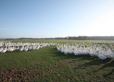 Gänseherde auf der Weide