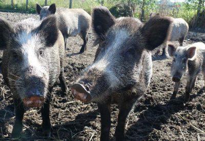 Wildschweine im Hofgut Kaltenbach