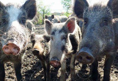 Wildschweine auf dem Hofgut Kaltenbach